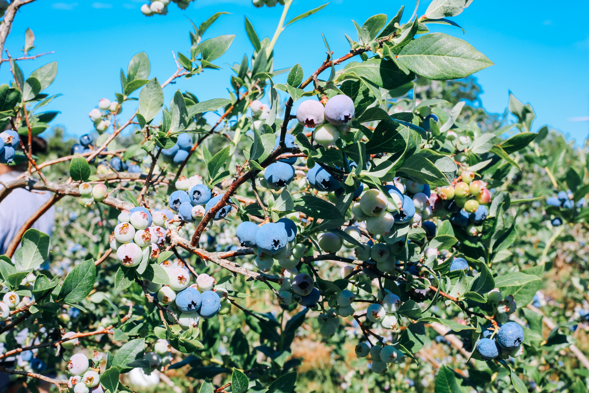 pentwater_blueberry-16