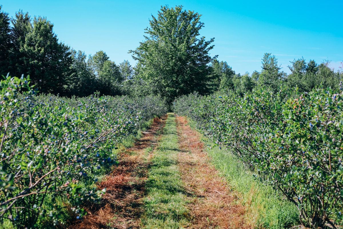 pentwater_blueberry-2