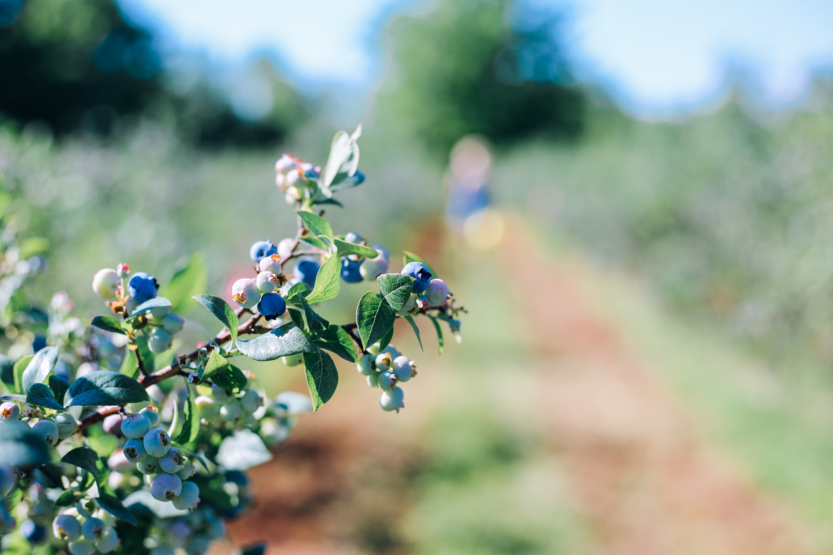 pentwater_blueberry-5