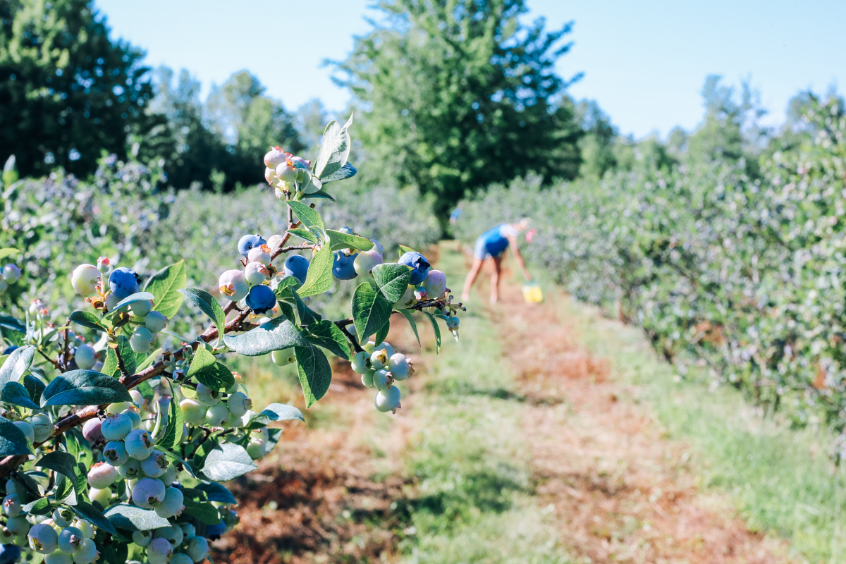 pentwater_blueberry-6
